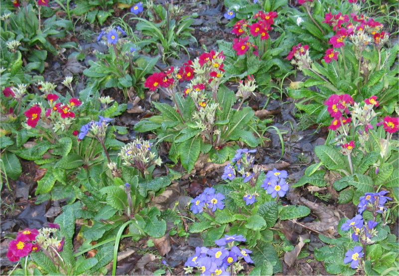 Red and blue primulas