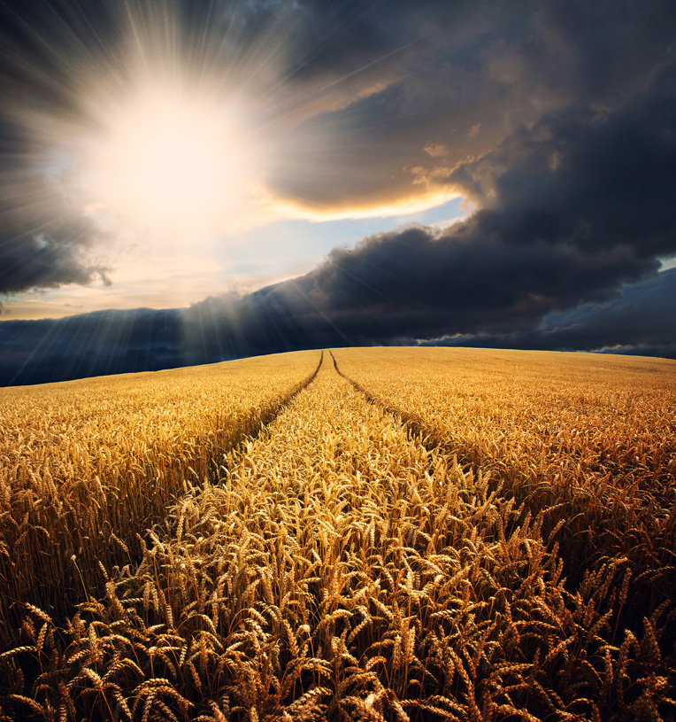A field of ripe corn with bright sun breaking through storm clouds