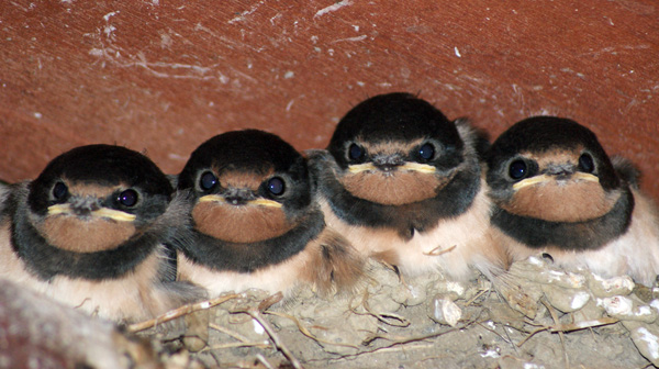 Four young swallows all in a row and looking at the camera with deep blue eyes.