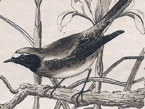 Redstart. Detail of painting by H.D. Astley