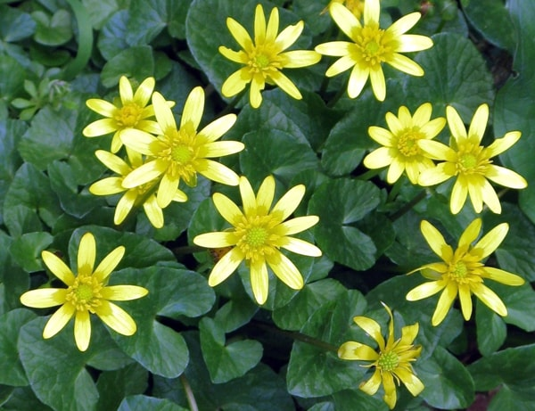 Celandines in bloom