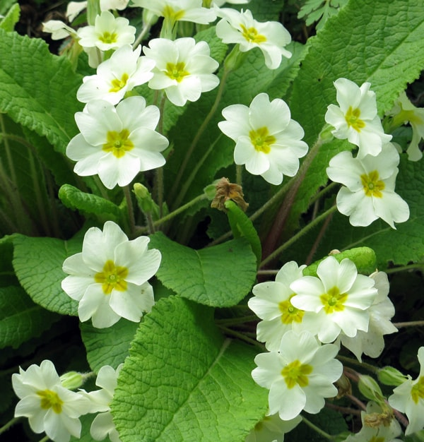 Primroses in bloom
