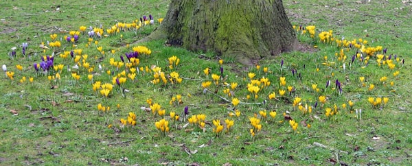 A ring of crocuses in bloom, around the foot of a tree.