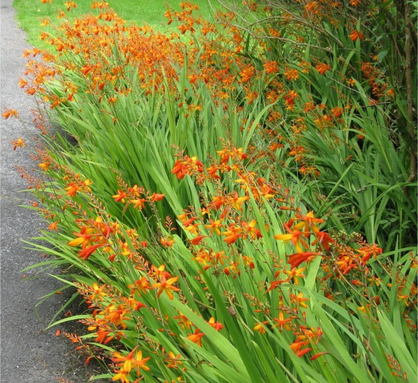 Montbretia in bloom