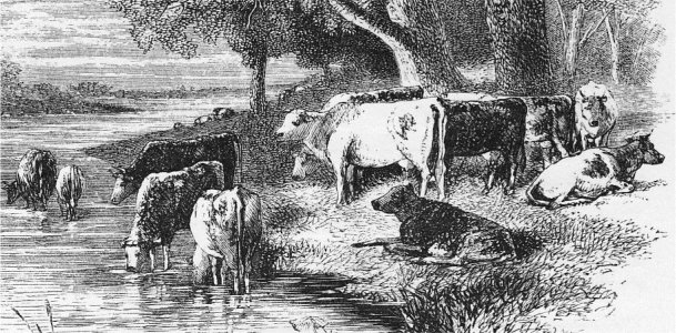 Cows by stream. Steel-engraving 1858