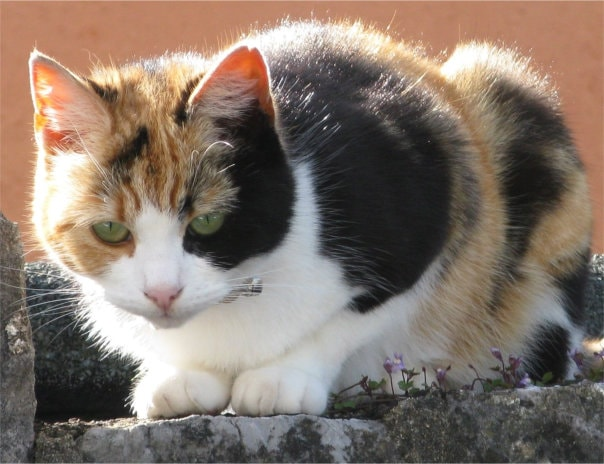 Old English (US Calico) cat on wall