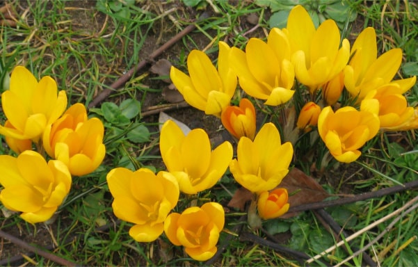 Group of yellow crocuses