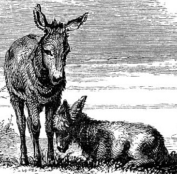 Donkey and foal. Steel-engraved endpiece 1868.