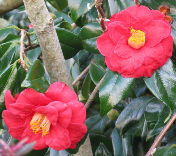 Two red camellia blooms