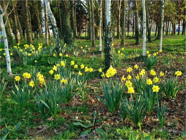 Wild daffodils at edge of a wood