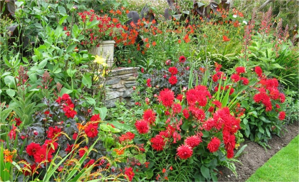 Red dahlias in a border.