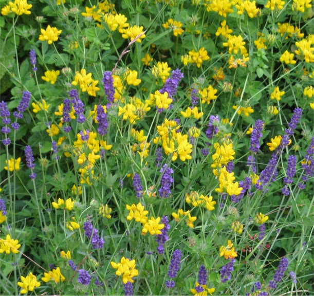 reater Bird's Foot Trefoil and Lavender
