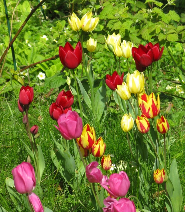 Tulips, pink, red, yellow, striped.