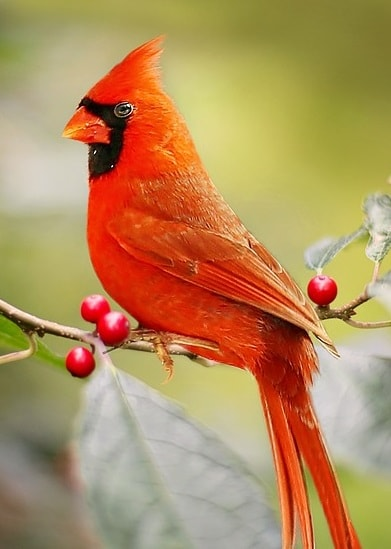 Cardinal (bird) and berries