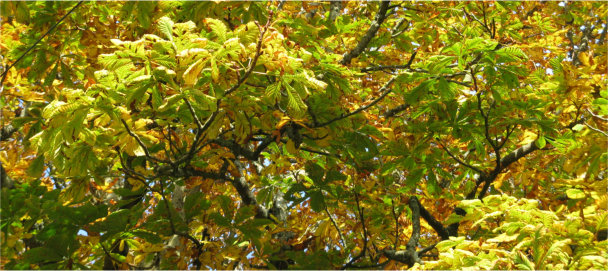 Horse chestnut with yellowing leaves
