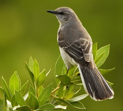 Mockingbird perched on bush