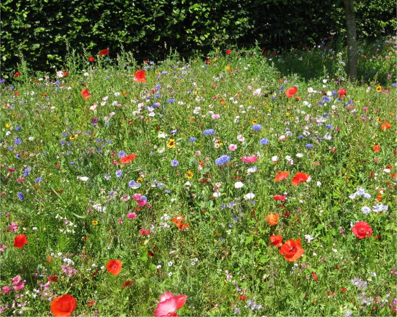 Wildflower meadow feature at Coleton Fishacre Devon